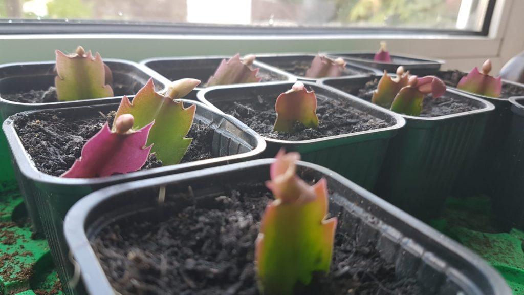 lidcactus kerstcactus
